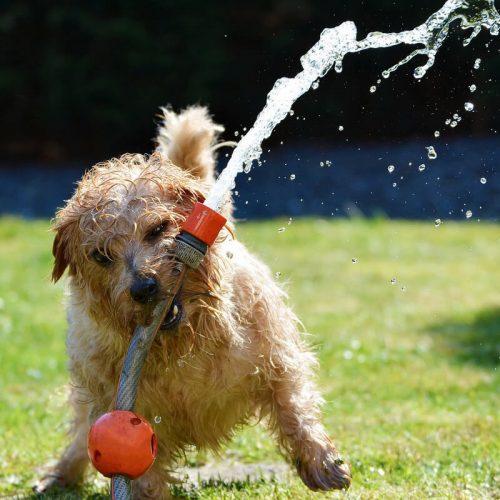 Kutya a kertben locsolóval játszik